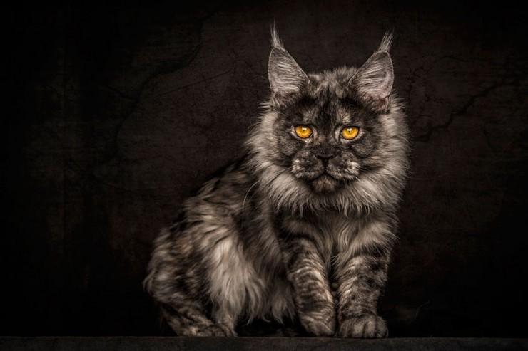 Robert Sijka Maine Coon Cat Photos - 02.