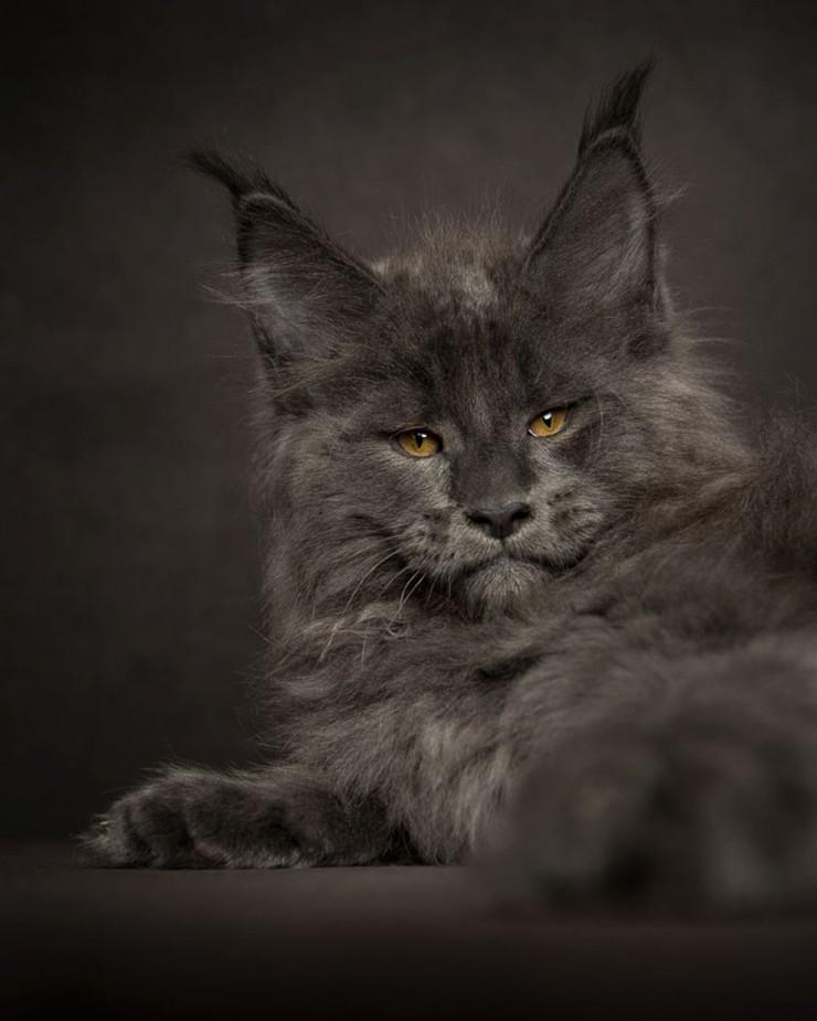 Robert Sijka Maine Coon Cat Photos - 03.