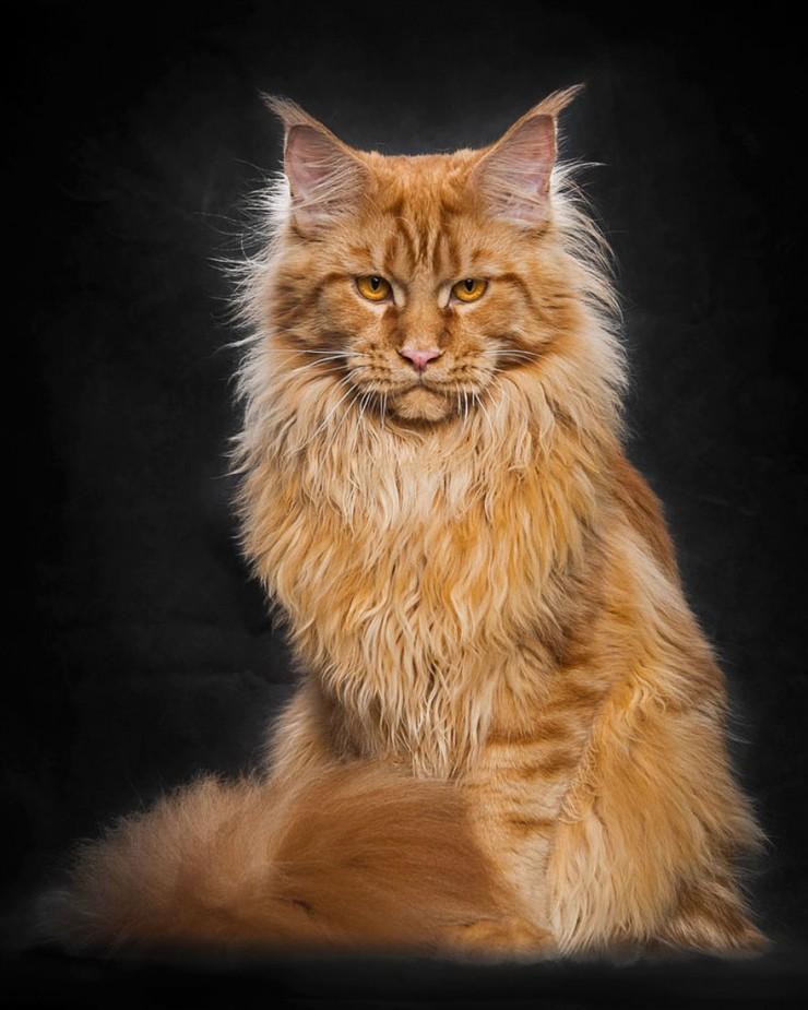 Robert Sijka Maine Coon Cat Photos 0 04.