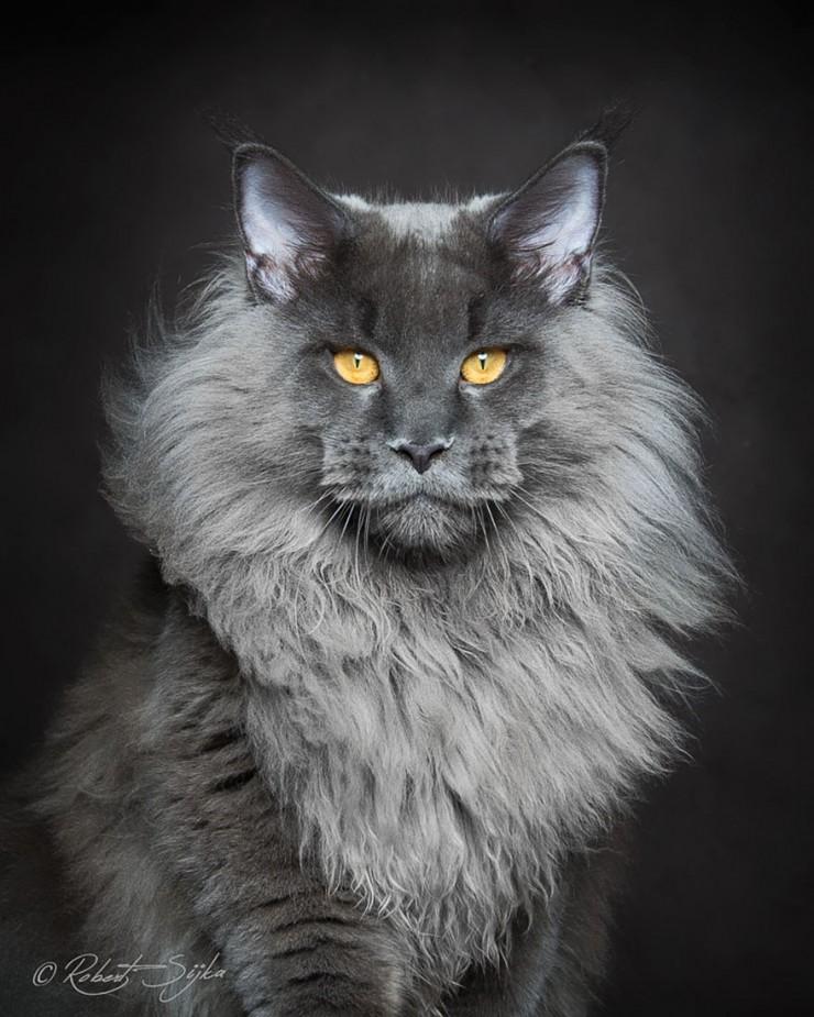 Robert Sijka Maine Coon Cat Photos - 05.