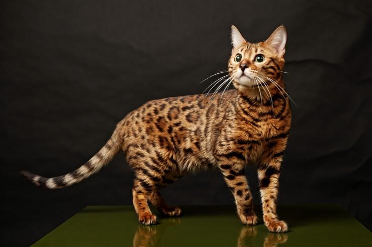Exotic cats - Bengal cat.