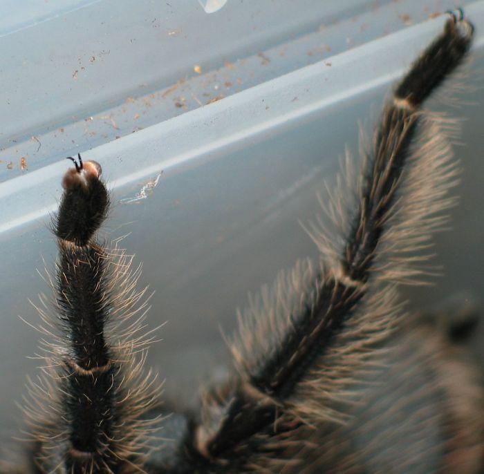 arachnid tarsus 03.